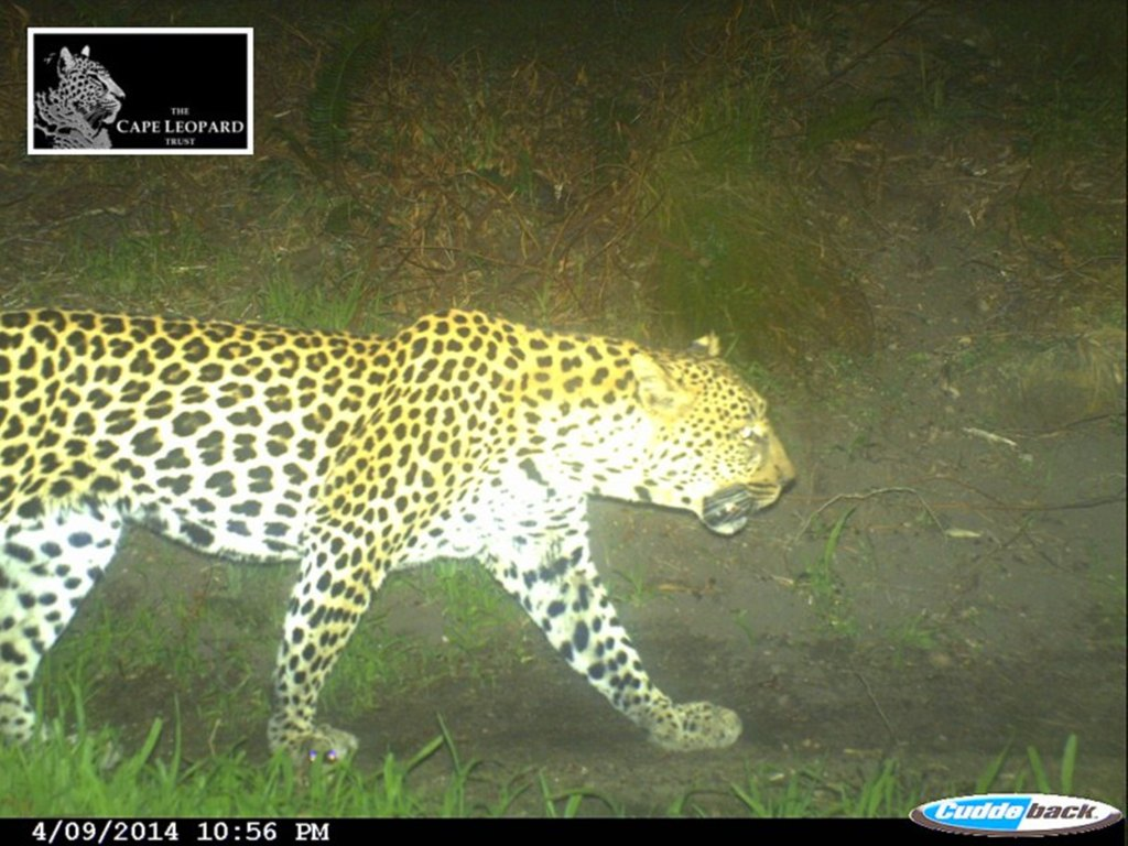 Seen here:  Popeye (Boland Male / BM17) patrolling the trails of Pofadder after his collar was remotely dropped.  Photo Credit:  Cape Leopard Trust (CLT) Boland Project
