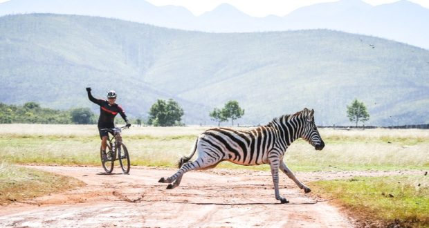 With the stage starting and finishing in the Plettenberg Bay Game Reserve there were animal sightings from the bicycle saddle was guaranteed. Along with zebra, riders were also treated to wildebeest, giraffe and elephant. Photo by Oakpics.com.